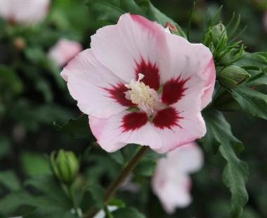 Hibiscus syriacus Hamabo Pot C10 - Central Jardin