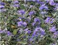 Caryopteris clandonensis Heavenly Blue Pot C5