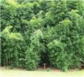 Phyllostachys Aurea 150 200 Pot C10