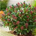 Skimmia japonica Rubella P10