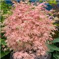 Acer palmatum Taylor 40 60 Pot C3