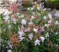 Abelia grandiflora Happy Daydream Pot C4 (Copie)