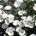Convolvulus cneorum White Sensation Pot C2