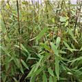 Fargesia murielae Winter Joy 150 200 P27 - 30