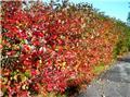 Aronia melanocarpa Nero Pot C5.5