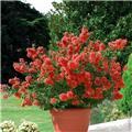 Lagerstroemia indica Petit Red 50 60 cm Pot C4