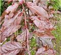 Prunus Trailblazer DT ** Prunier décoratif et productif ***
