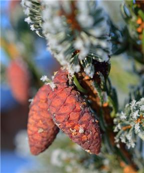 Picea omorika 250 300 MG motte grillagée