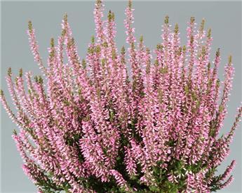 Calluna vulg. Garden Girls Pink XL