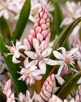 Scilla bifolia Rosea * 100 pc cal. 5/+  ** RARE **
