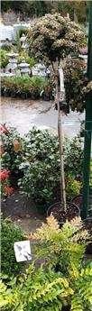 Viburnum tinus Tige +/- 120 cm Pot C18