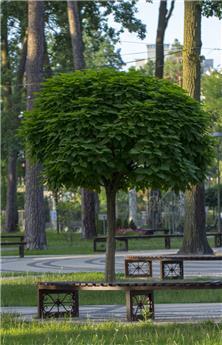 Catalpa bungei Haute Tige  28 30 Motte ** Plante exceptionnelle **