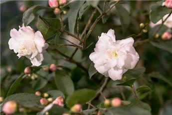 Camellia japonica Cinnamon Cindy (blanc) Pot C4  5 ans ** Parfumé **