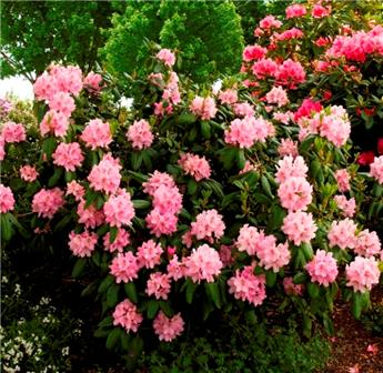 Rhododendron Scintillation 50 60 Pot C5