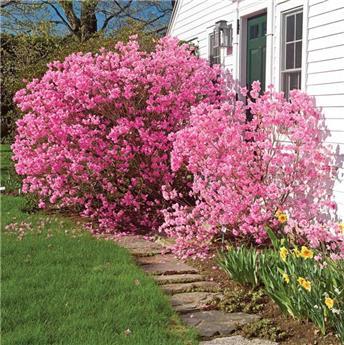 Rhododendron racemosum Anna Baldsiefen Pot