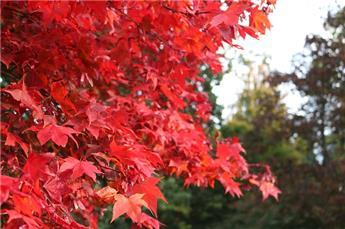 Acer rubrum Summer Red 175 200 Baliveau