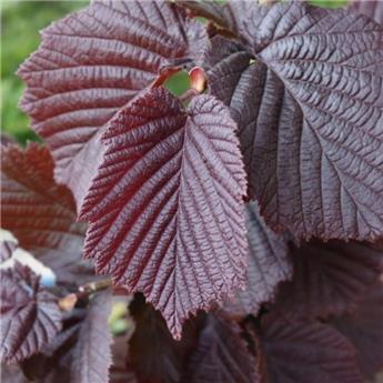 Corylus maxima Purpurea Pot C7.5