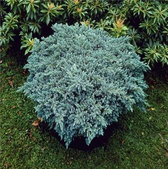 Juniperus squamata Blue Compact Pot C3L