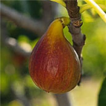 Ficus carica Brunswick C5L **Autofertile**