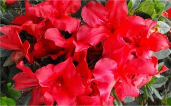 Azalea japonica Bloom Again® Fireside Red Pot C4