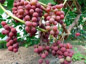 Vitis vinifera Spulga Pot C2L