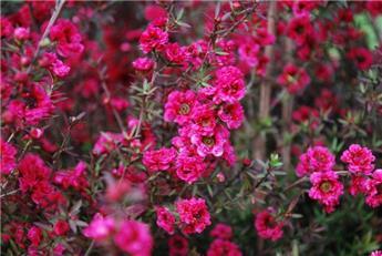 LEPTOSPERMUM scoparium Red damask C.2L RC