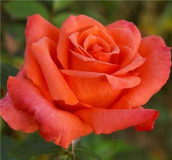 Rosier Anne Vanderlove® Pot C5L **Parfumé**