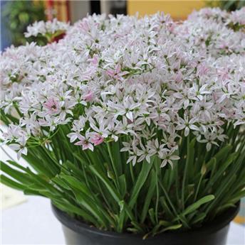 Allium trifoliatum Cameleon * 10 pc cal.4/+  ** Original**