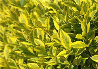 Ligustrum ovalifolium Aureum 150 175 Motte ** Plante fortes et ramifiées **