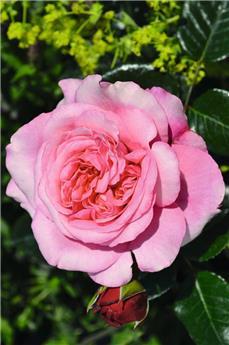 Rosier Pink Voluptia Pot C2 ** Très parfumée **