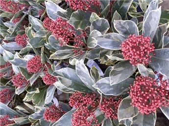 Skimmia japonica Perosa Pot C3 ** Feuillage panaché **