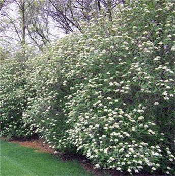 Viburnum lantana Mohican 125 150  Pot C25 Plante XXL
