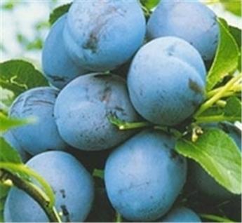 Prunier Bleue de Belgique Buisson **Prêt à produire**