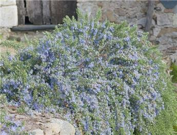 Rosmarinus officinalis Prostrata Repens Pot 18