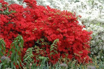 Azalea japonica Stewartsoniana 80 100 cm Pot C30