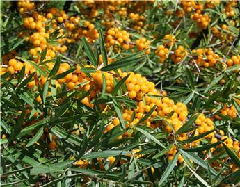 Hippophae rhamnoides Julia Pot C3.6 (Femelle)