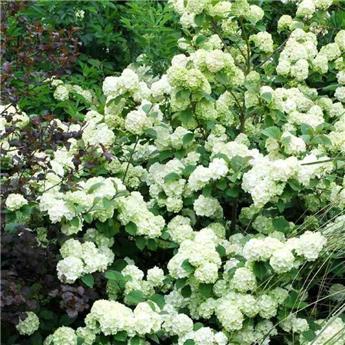 Viburnum plicatum Grandiflorum Pot C25