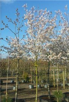 Amelanchier arborea Robin Hill Haute Tige 10 12