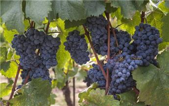 Vitis vinifera New York Muscat Pot C2.7L ** Très sucré - Résistant aux maladies **
