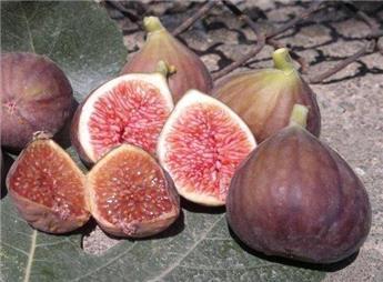 Ficus carica Mischurinska Pot** le plus résistant au froid * RARE