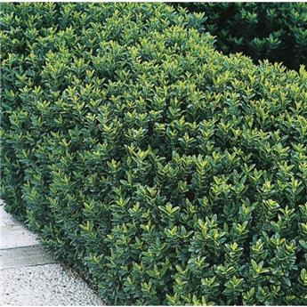 Euonymus japonica Green Spire 20/+ Pot C1.5L