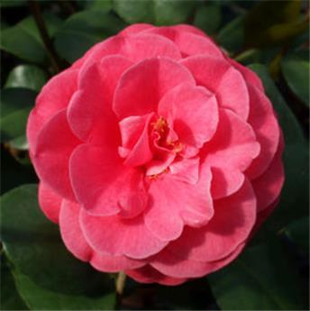 Camellia japonica Bella Lamberti 5 ans Pot C4