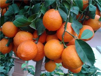 Citrus limon Rosso Mini Tige Pot P26 Ht 100 130 cm