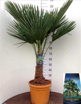 Trachycarpus Fortunei Pot 35 1 tronc 50 60 cm Ht 150 170 cm
