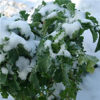 Brassica ol. ram. Daubenton Pot C 1.5L
