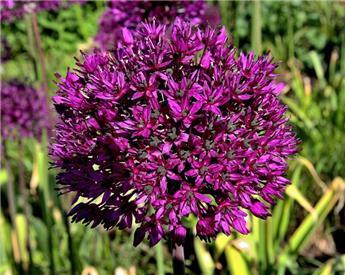 Allium Purple Sensation Pot C3