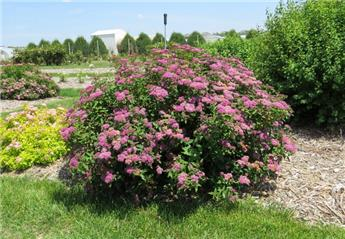 Spiraea japonica Superstar Pot C5L