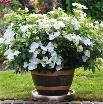 Hydrangea macrophylla Runaway Bride Pot C6L ** Variété primée en 2018 au RHS Show London **