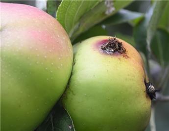 Placez vos pièges préventifs contre les vers des fruits.