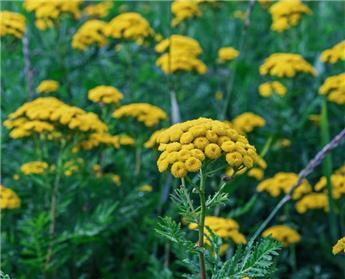 Tanacetum vulgare Pot C 1.5 ** Tanaisie **